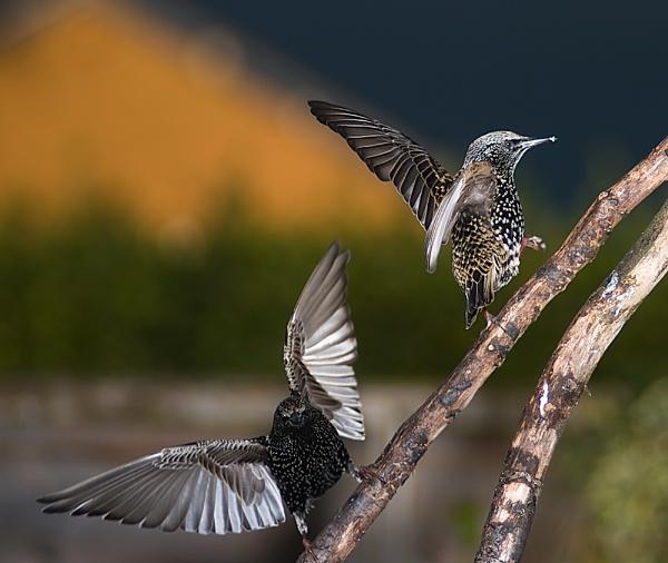 Starlings by deavilin