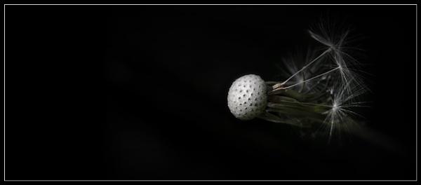 Dandelion Alone by Morpyre