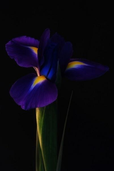 Iris by kayakercanoe