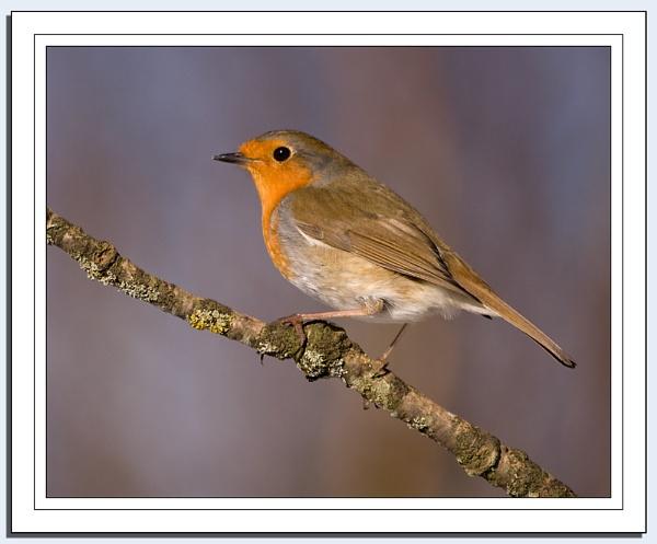 Robins Galore! by Blenkinsopp