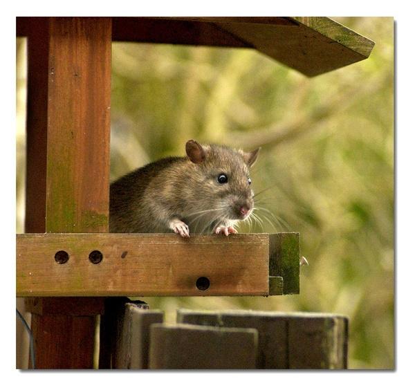 ratty by patman