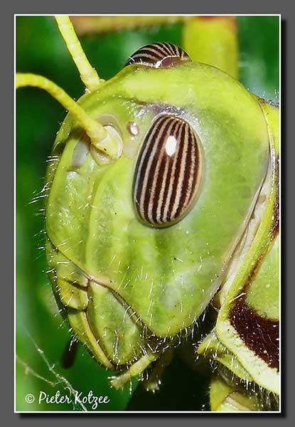 Locust by Pieter_Kotzee