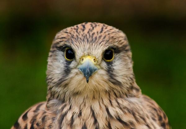 Bird of Prey by GlynnisFrith