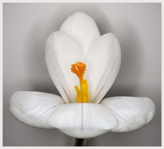 White Crocus by brianhaslam
