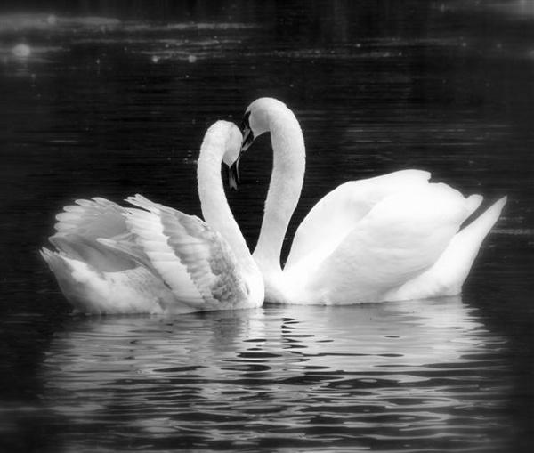 Swan lake by pixellady