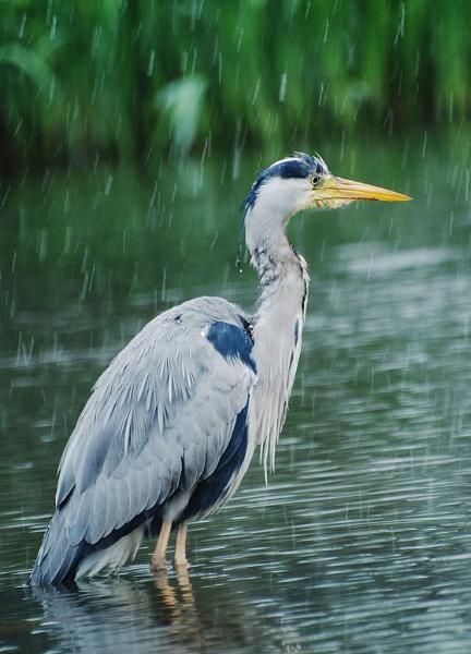Heron by steveprice