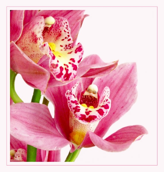 Original Coloured Orchid by Mewinty