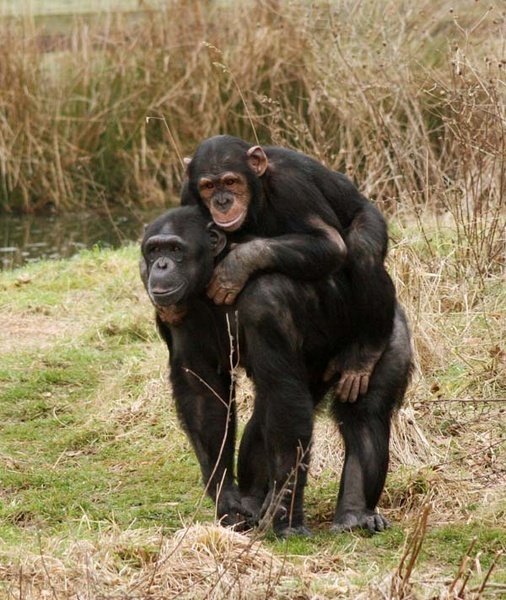 Chimpanzees by ForeverSnapping