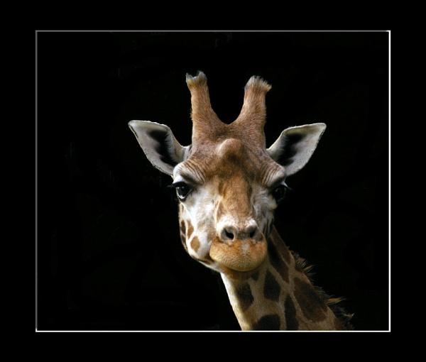 *Giraffe by Mynett
