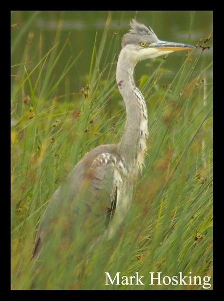 Grey Heron by Hosking