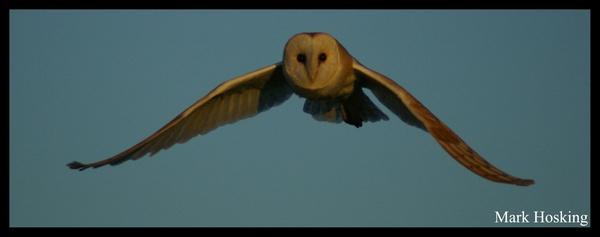 Barn owl by Hosking