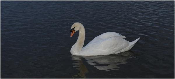 White Swan by BigSausage