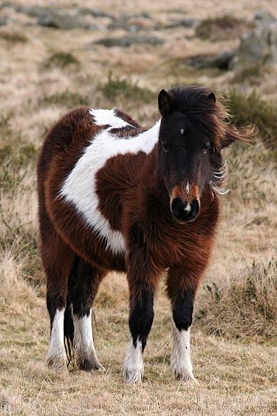 dartmoor pony by angelite