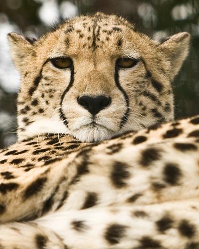 Cheetah - OK! Who Woke Me Up? by s1ngerman