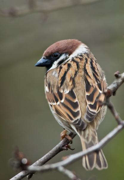 Male Tree Sparrow by davewilliamson