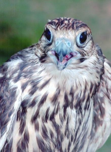 Pakistani Falcon by shahbaz