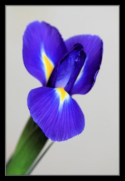 Iris by johnmw