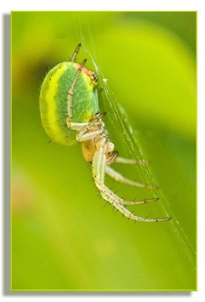 Green Orb Weaver by roseyemma