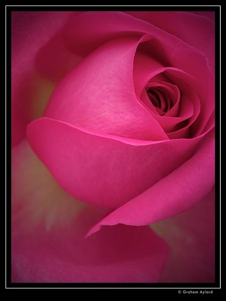 Pink Rose by Graham_Aylard