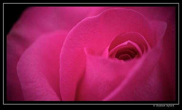 Pink Rose (16x9) by Graham_Aylard