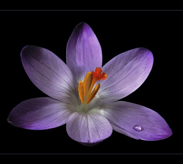 Lilac Drop by ColouredImages