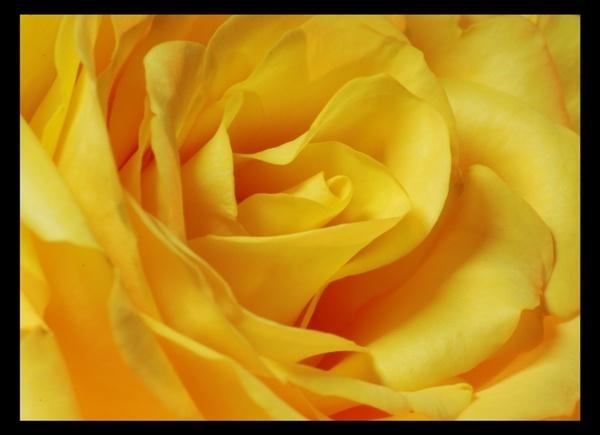 Yellow Rose by kayakercanoe