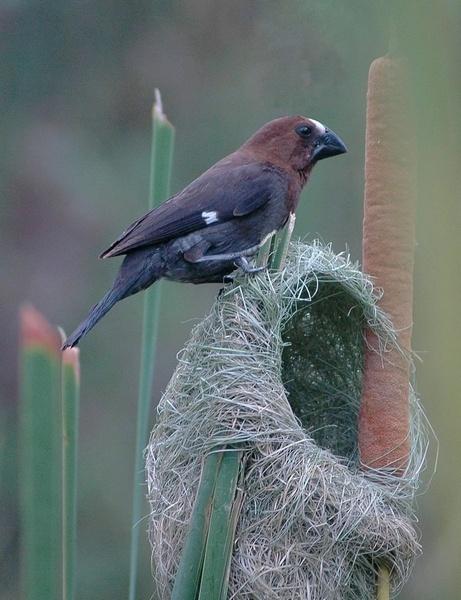 Thick-Billed Weaver Bird by GT_Steel