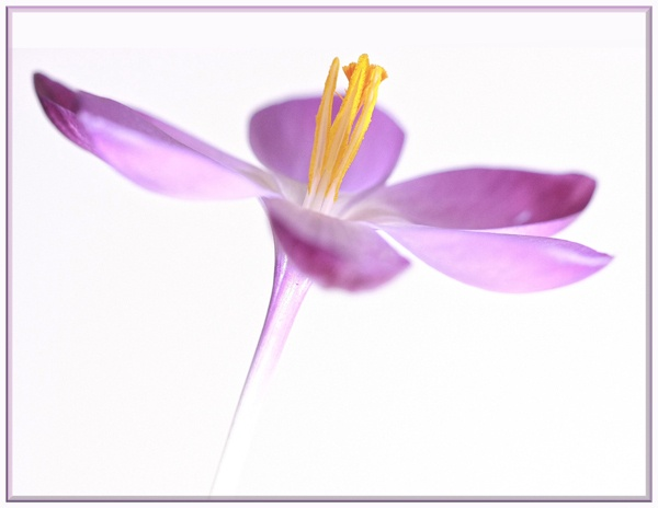 Soft Crocus by ChristineD