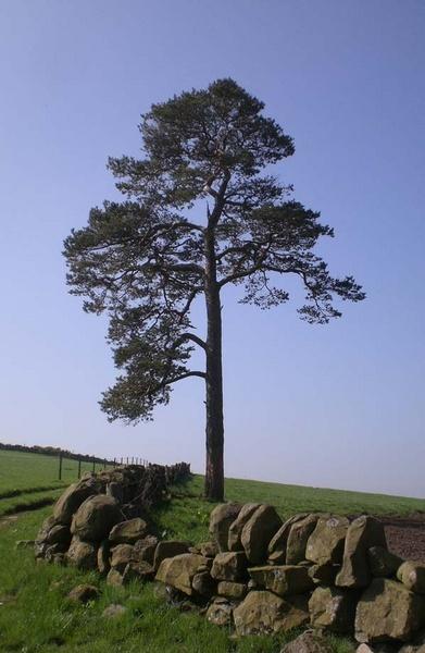 pine tree by simbo76