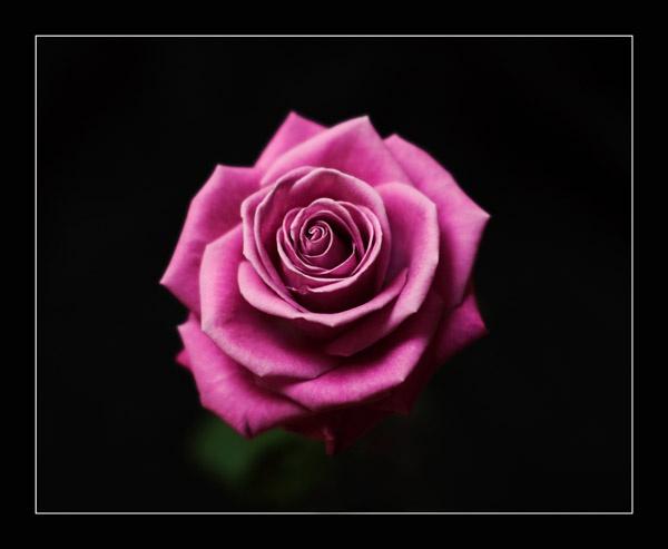 Rose by BobDM