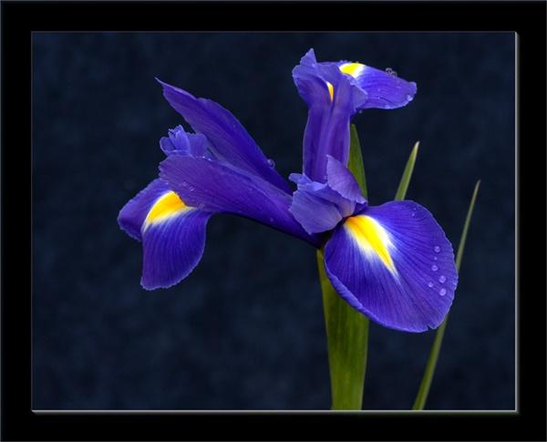 Iris by jmw58