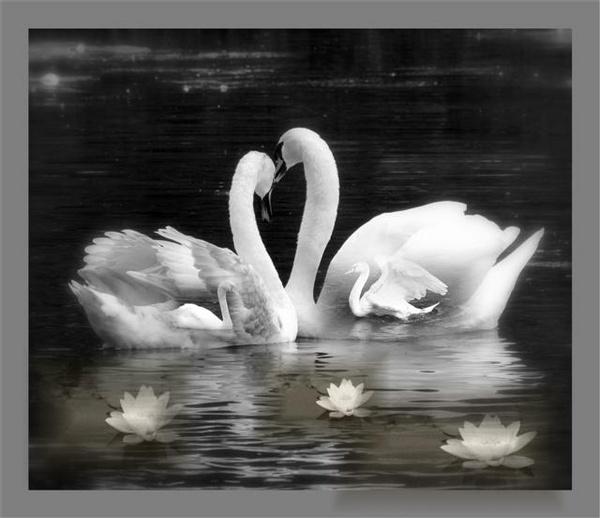Inner Swans by pixellady
