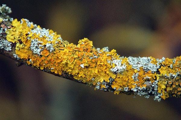 Lichen by BillM