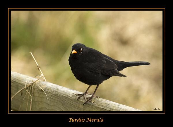 Turdus Merula by Valerie1