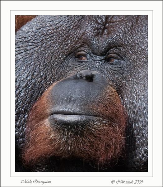 Male Orangutan by FeatherFriend