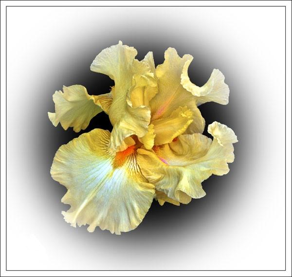 Iris by bill78