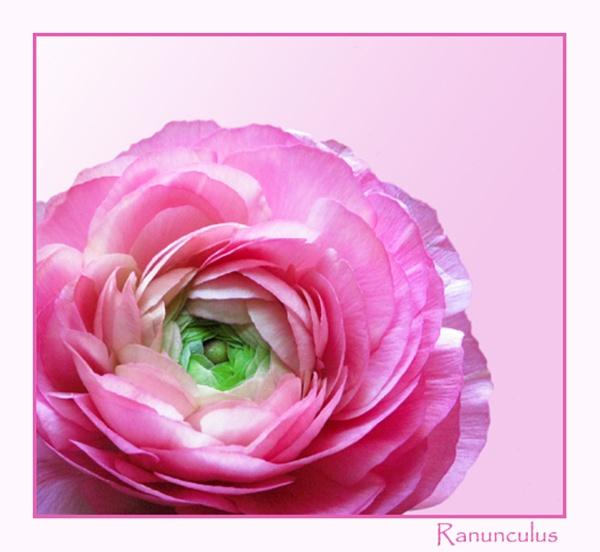 Ranunculus by Mewinty