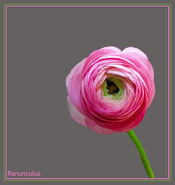 Ranunculus 2 by Mewinty