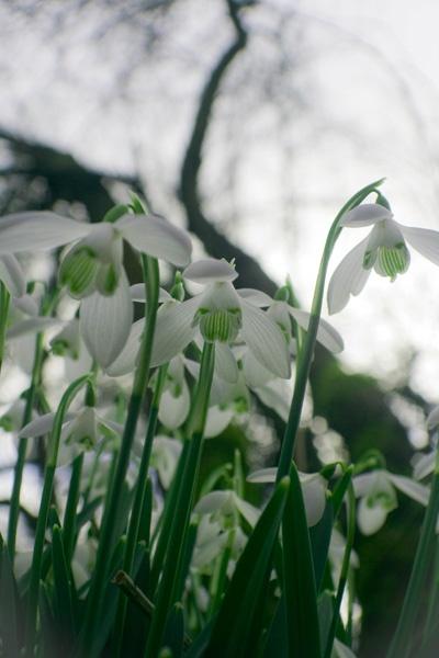 Snowdrops by Tettie