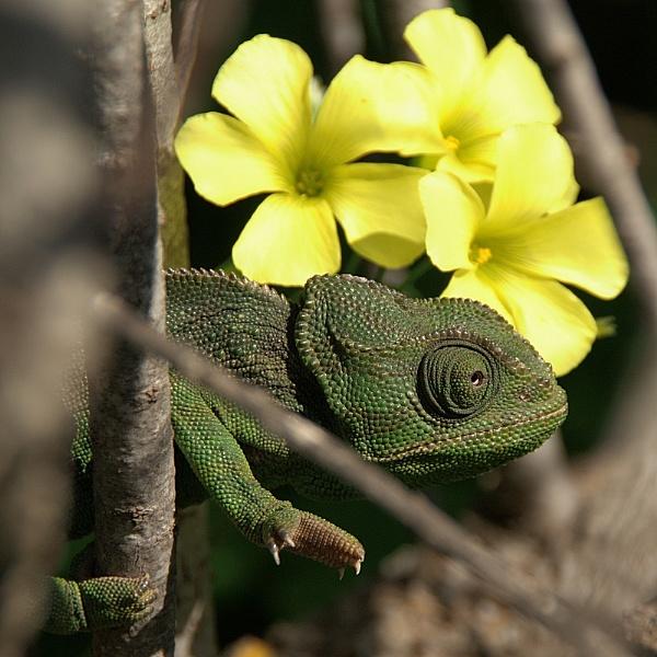 Chameleon ways by piotro