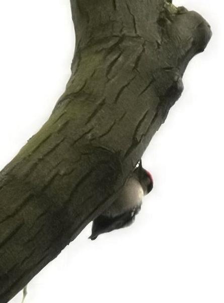 L.S.Woodpecker by ukdrifter