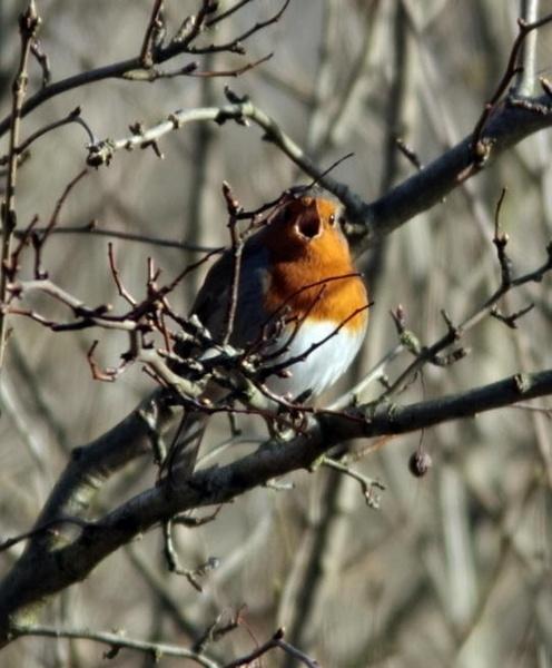 Chirpy Robin by ukdrifter