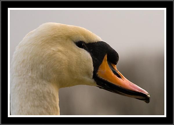 Swan Portrait by SoulOfNature