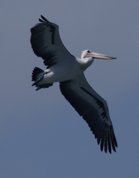pelican in flight by Robyn2012