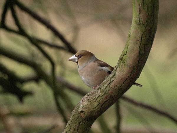Hawfinch by Tim70_99