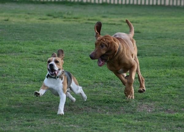 Yoda chasing a Beagle by x_posure