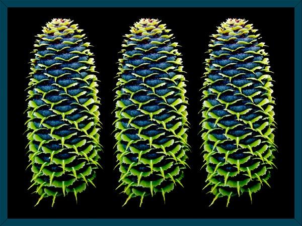 Korean Pine by Sean_Dillon