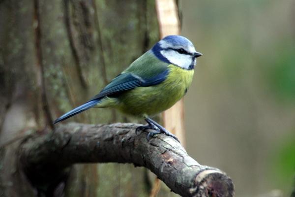 Blue Tit by SteveMoulding