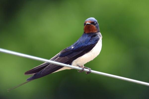 Swallow\'s return by SteveMoulding