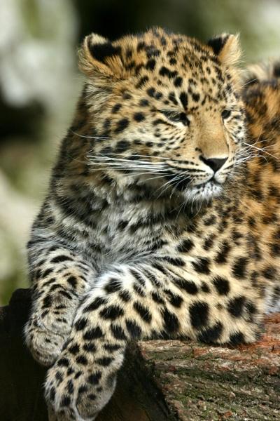 Amur Leopard by SteveMoulding